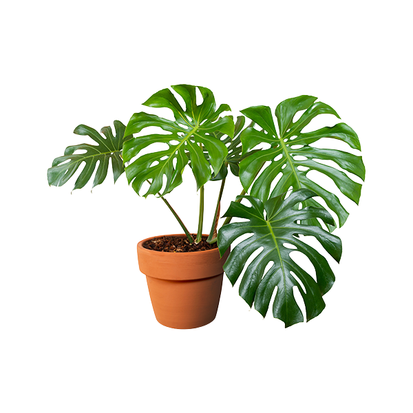 Indoor Plants Delivery or Pickup
