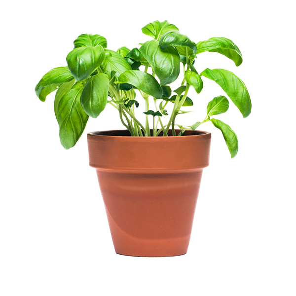 Potted Herbs Delivery or Pickup