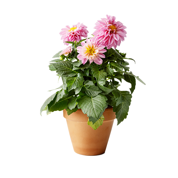 Angel Plants Potted Plants Delivery or Pickup